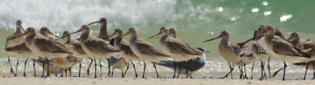 shorebirds jan 15 BAGO_MIXED2 (2)