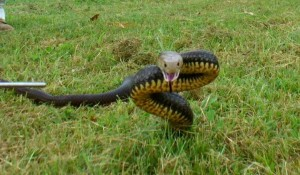 An eastern brown snake caught in Cooloola Cove
