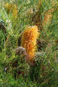 Plant of the month is Banksia spinulosa (Golden Candlesticks), a shrub to 3 metres or so growing mainly in dry eucalypt forest. The orange-yellow flowers occur autumn to winter and attract honeyeaters. This is an attractive feature shrub that is tolerant of salt spray and will survive in most well-drained soils. Photograph courtesy Mary Boyce