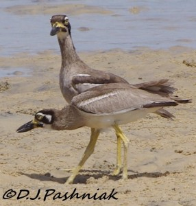 """A rare find: Beach Stone-curlews, sometimes known as the """"Beach Thick-Knees"""" Image Dorothy Pashniak"""