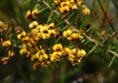 Plant of the month is Daviesia umbellulata, a shrub to 2m+ that enjoys dry conditions and has small yellow pea flowers, often with red markings, in spring. (Photograph: Mary Boyce)