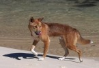Outback festivities in Rainbow Beach on October 25 will help educate backpackers on dingo safety