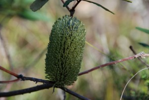 Plant of the month: Banksia oblongifolia (Dwarf banksia) is a multi-stemmed shrub, usually grows to 1 metre, is hardy and has cream-to-yellow flowers and oblong, serrated leaves. (The photograph by Mary Boyce shows green coloration prior to full flowering.)