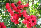 The lillypilly is plant of the month - this variety is Syzygium luehmannii Photograph: citizenj.edgeqld.org.au