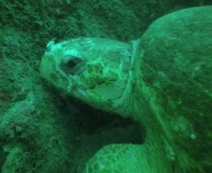 Wolf Rock Dive - 'Lily' the loggerhead turtle