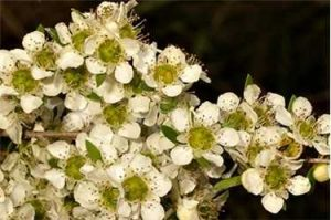Plant of the month: Leptospermum polygalifolium (Wild May)