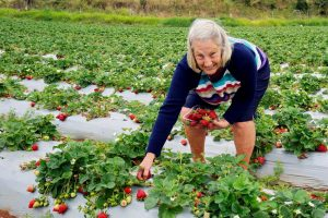 Helen Brown collects her strawberries
