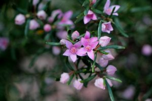 Forest Boronia