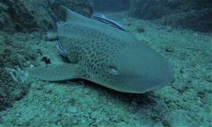 Leopard sharks breathe without swimming!