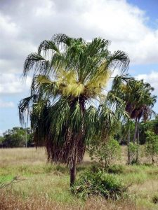 Plant of the month Livistona decora - Weeping Cabbage Palm - Photograph: www.pacsoa.org.au