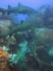 We deliver one of Australia's best shark dives - here are some of our local grey nurse sharks