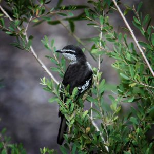 Photograph: A Varied Triller in Coastal Tea-tree