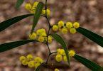 City Farm - Zigzag wattle is in full bloom