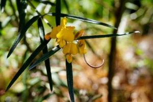 Plant of the month City Farm has lots of Oxylobium robustum in stock, a small shrub with golden yellow flowers winter to spring Photograph source: ala.org.au