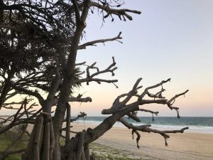 Our pandanus trees are in trouble - Council is working to limit the damage in Rainbow Beach
