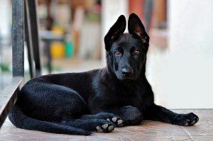 black-german-shepherd