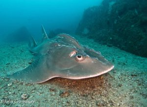 Bow Mouth Guitar Shark or 'Shark Ray'