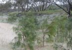 Plant of the month is Acacia hubbardiana