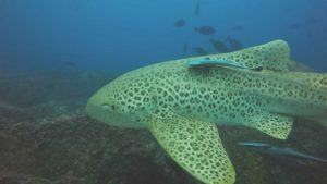 Leopard sharks sightings have increased