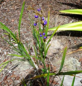 Four Dianellas grow in our area, and our plant of the month is Dianella caerulea (Common flax lily), which grows to 1.8m in wet and dry eucalypt forests where they tend to be occasional plants, rather than clumps. Blue flowers occur from spring to summer and purple/blue fruit follow. Dianella caerulea  can tolerate damp conditions, but prefers full sun and well drained soil.