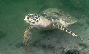 Hawksbill turtle Images Undersea Productions