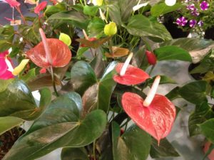 Entry at Gympie Garden Expo Anthurium