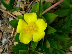 City Farm 1: Hibbertia scandens (Climbing Guinea Flower) is a vigorous, trailing or climbing plant that grows well in coastal areas Image Mary Boyce