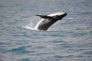 Whale season has begun Image courtesy Cooloola Coastcare, see their article on page 12-13.