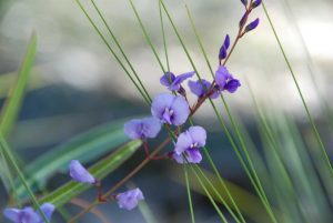 Our plant of the month is the spring flowering Hardenbergia violacea species, also known as Native Sarsaparilla - Photograph: Mary Boyce