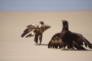 Garry Hewitt winning photo 'Wedge-tailed eagles at Sandy Cape, Fraser Island'