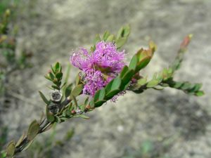 Our plant of the month is Melaleuca thymifolia (Thyme-leaved honey myrtle), an adaptable shrub to around a metre with mauve flowers spring to summer. It likes wet conditions and will flower best in full sun.  Image Mary Boyce
