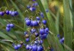 City Farm - Dianella caerulea (Common flax lily)