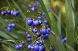 City Farm - Dianella caerulea (Common flax lily)
