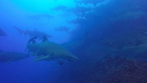 There are about fifty grey nurse sharks daily on a Wolf Rock Dive