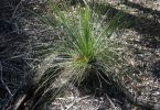 It is illegal to remove the Grass Tree from their habitat