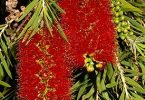 The Melaleuca viminalis or Weeping bottlebrush is hardy in most soils - Photograph: www.anspa.org.au