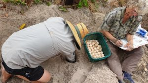 Randy Orwin (President of Cooloola Coastcare) digging a hole for Joan Burnett (TurtleCare Project Leader) to relocate the loggerhead turtle eggs to a safer location away from the high tide
