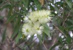 Melaleuca salicina - photo by planetnet.rbgsyd.nsw.gov.au