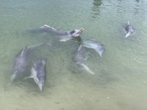 Dolphin feeding at Tin Can Bay March 2020