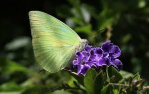 The Lemon Emigrant migration was most likely spurred by the early rains - photo Jungle Dragon