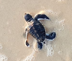 Photo by Turtlecare volunteer Jan Waters - one of the latest hatchlings to make it to the water alive and well at Rainbow Beach