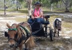You may have seen Vicki Lawler with her Shetland ponies, Anzac and Digger around the coast recently