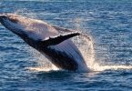 The Humpback Whale northerly migration is in full swing with the giant mammals giving birth in the warmer coastal Australian waters