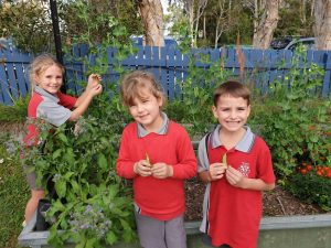 Tin Can Bay State School - The Garden Club has been harvesting fresh vegetables this month!