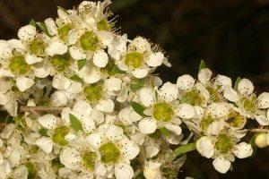 Leptospermum Polygalifolium is the City Farm flower of the month