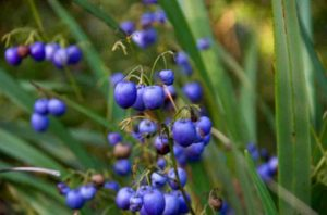 The Dianella Caerulea is City Farm's plant of the month