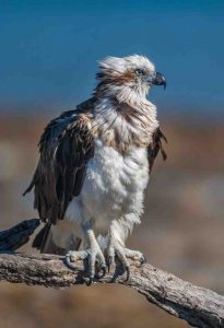 This photo titled, Osprey Pt Vernon taken by Julie Hartwig during the Camera Club week-long retreat to Hervey Bay