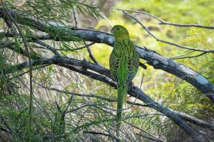 Patrick Colley took this photo of the Eastern Ground Parrot at Rainbow Beach last month which is apparently getting plenty of excitement on Facebook from bird enthusiasts