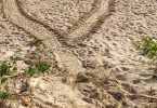 Keep a lookout for the distinctive turtle tracks on the beach and report them to Cooloola Coastcare