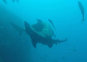 The Grey Nurse Sharks were caught on camera by Wolf Rock Dive beginning their mating courtship